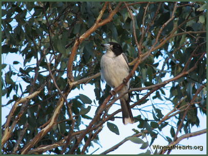 grey butcherbird sitting on a tree