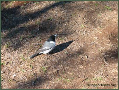 Grey Butcherbirds | WingedHearts.org