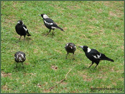 Rinky, Vicky, Philly , Sophie and Maggie - magpie family