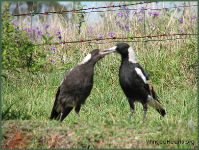 Baby magoue Wendy being fed mother magpie Vicky