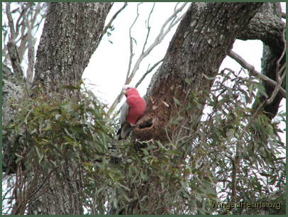 a galah bird sitting on edge of nest