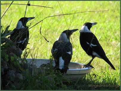 Georgie magpie flanked by siblings Monty and Mindy