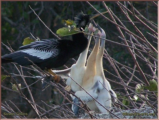 Anhinga feeding her chicks at Green Cay Nature Center