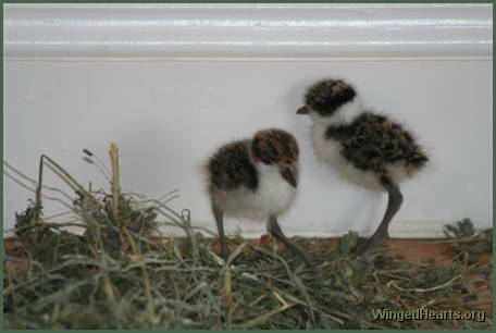 baby plovers - 2