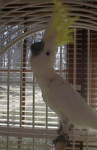 caged-ckatoo