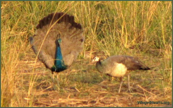peacock-peahen at Ranthambore